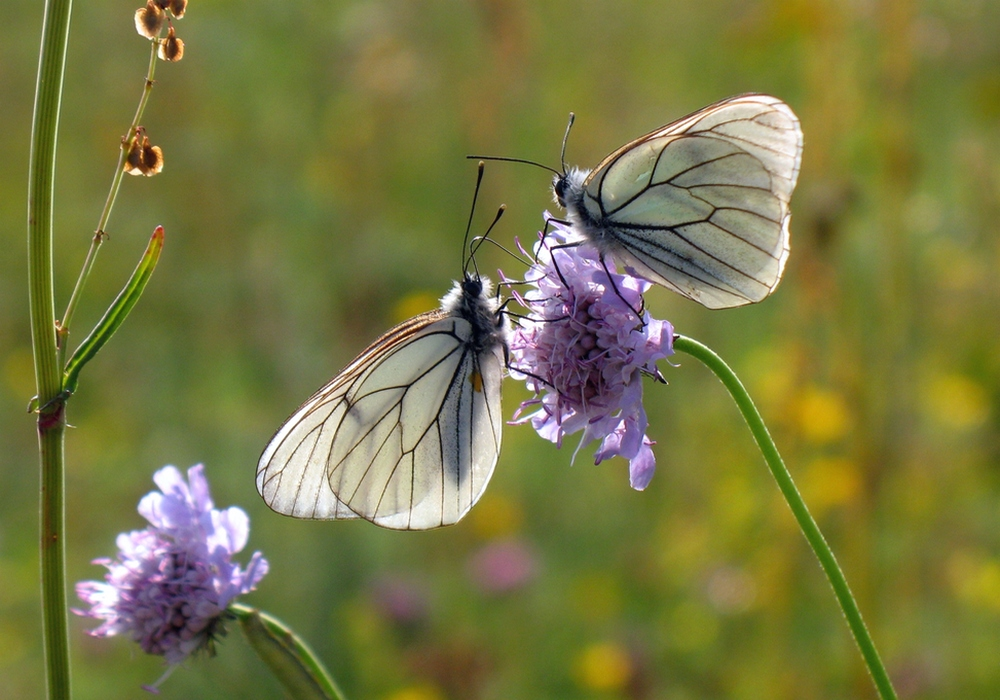 Aiolopus thalassinus accouplement © J.L. Pratz
